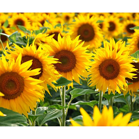 Sonnenblumen Saatteppich