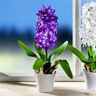 Hyazinthe, lila