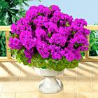 Geranien-Bouquet lila