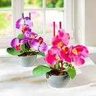 Orchideen im Topf, 2er-Set