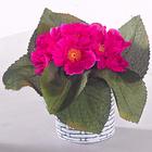 Usambara-Veilchen pink Casa Bonita